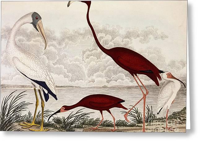 Wood Ibis, Scarlet Flamingo, White Ibis Greeting Card by Alexander Wilson