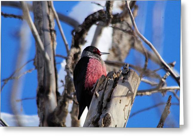 Wood Pecker Greeting Card