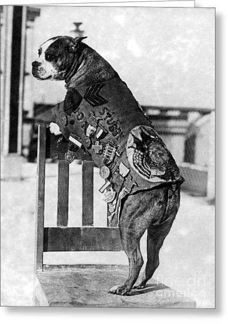 Wwi, Sergeant Stubby, American War Dog Greeting Card by Science Source