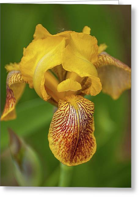 Greeting Card featuring the photograph Yellow Bearded Iris by Brenda Jacobs