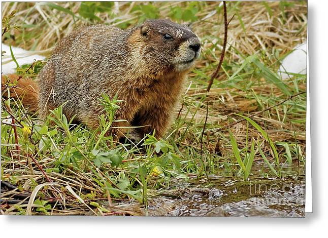 Yellow-bellied Marmot Greeting Card