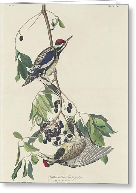 Yellow-bellied Woodpecker Greeting Card by John James Audubon
