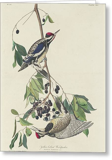 Woodpecker Greeting Cards - Yellow-Bellied Woodpecker Greeting Card by John James Audubon