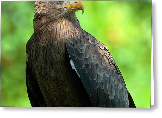 Yellow-billed Kite Greeting Card