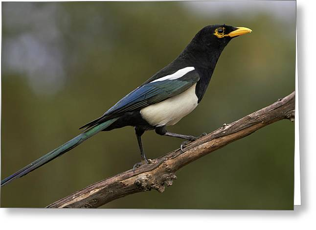 Yellow-billed Magpie Greeting Card