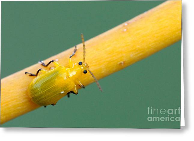 Yellow Orchid Beetle Greeting Card