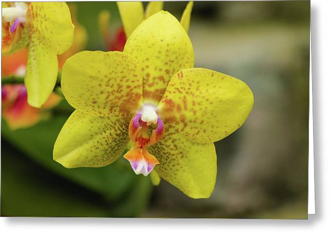 Greeting Card featuring the photograph Yellow Orchid by Cristina Stefan
