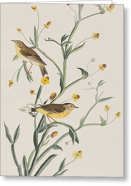Yellow Red-poll Warbler Greeting Card