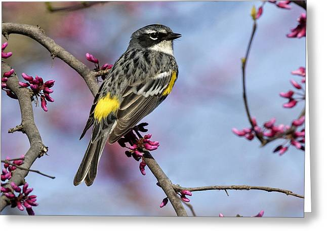 Yellow-rumped Warbler Greeting Card by Eric Mace