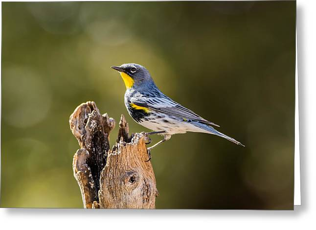 Yellow-rumped Warbler Greeting Card by Tam Ryan