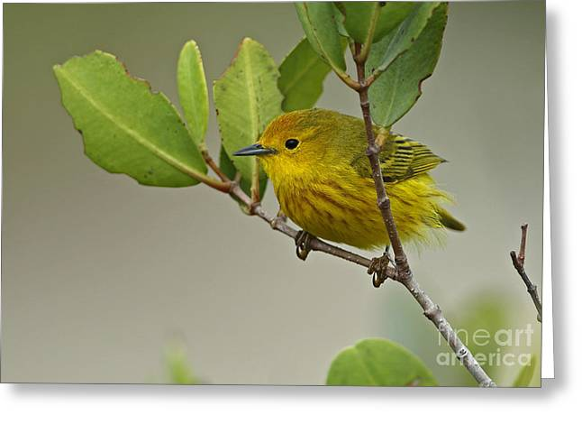 Yellow Warbler In Cuba Greeting Card by Neil Bowman/FLPA