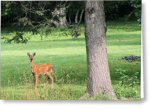 Young Buck Greeting Card by Carolyn Postelwait
