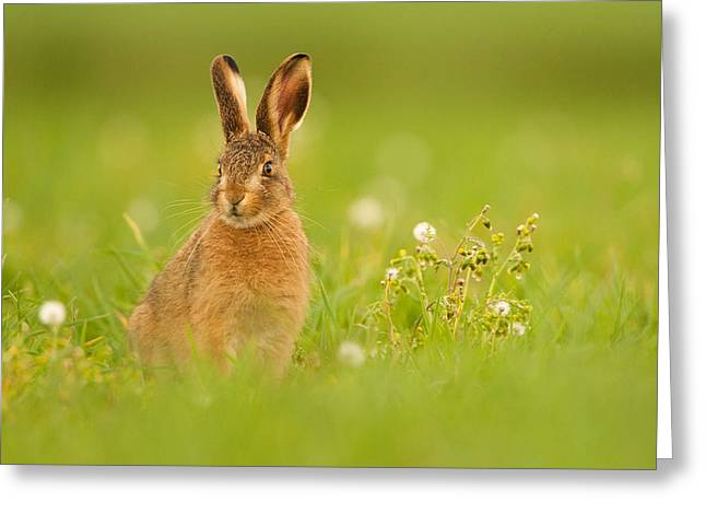 Young Hare In Meadow Greeting Card