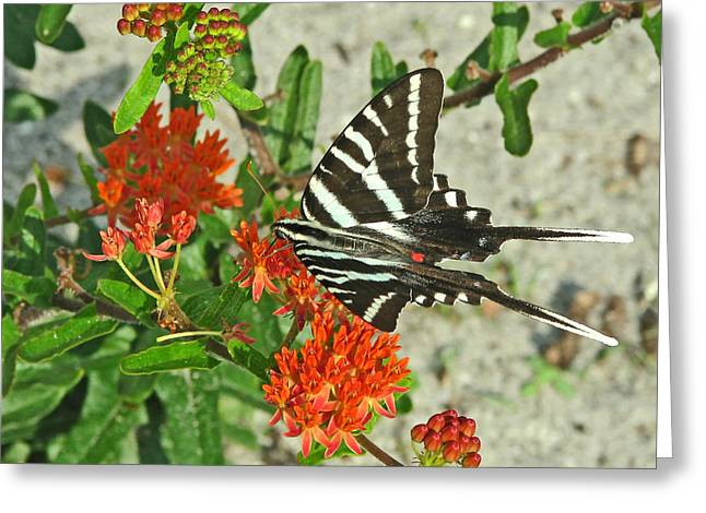 Greeting Card featuring the photograph Zebra Swallowtail by Peg Urban
