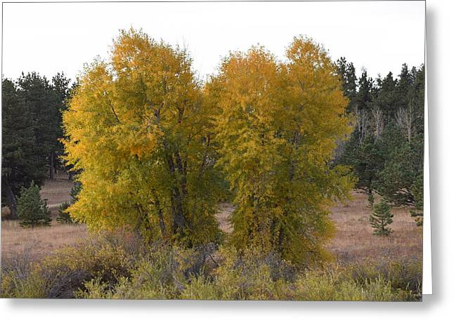 Aspen Trees In The Fall Co Greeting Card