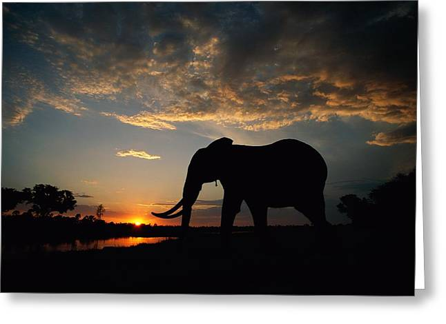 Rare Sunset Greeting Cards - African Elephant Loxodonta Africana Greeting Card by Beverly Joubert