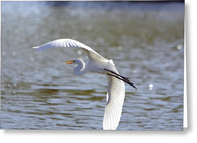 Hunting Bird Greeting Cards - Great Egret In Flight Greeting Card by Roy Williams