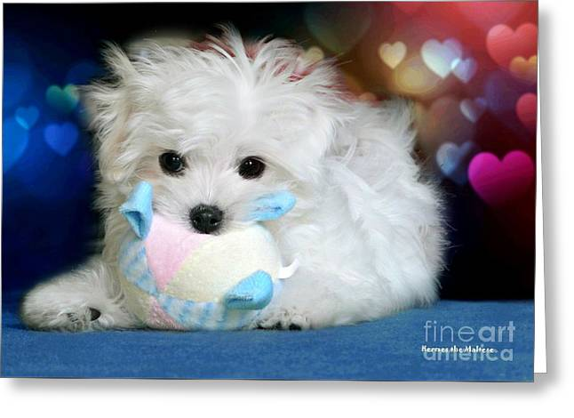 Hermes The Maltese Greeting Card by Morag Bates