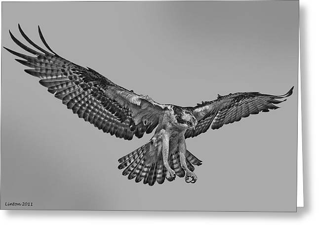 Osprey Flight Greeting Card