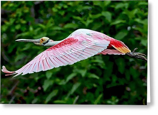 Roseate Spoonbill In Flight Greeting Card by Lindy Pollard