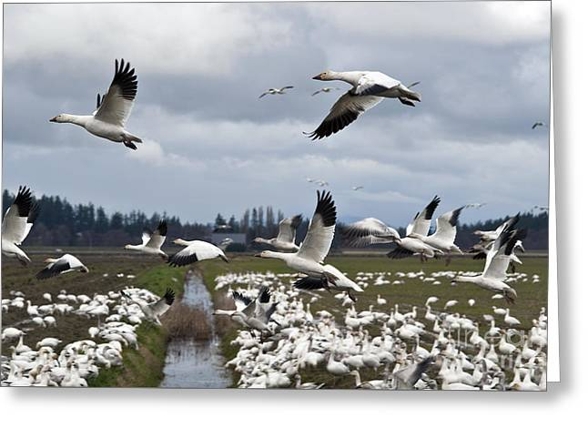 Snow Geese Migration  Greeting Card