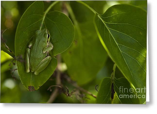 Tree Frog In Lilac Bush Greeting Card by Jim Corwin