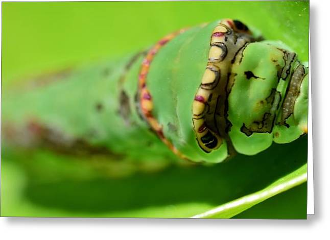 King Page Swallowtail Caterpillar Greeting Card by Werner Lehmann