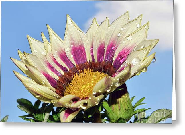 Nice Gazania Greeting Card by Elvira Ladocki