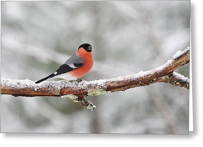 Eurasian Bullfinch Greeting Card