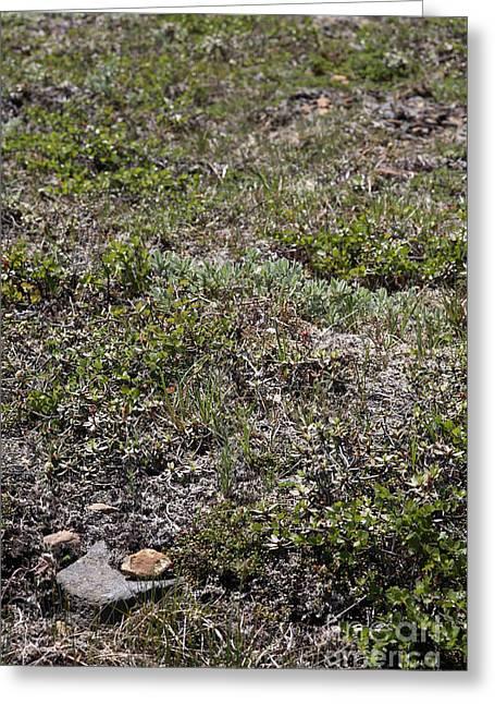 Alpine Tundra Greeting Card by Ted Kinsman