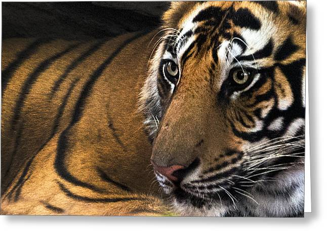 Bengal Tiger Panthera Tigris Tigris Greeting Card by Panoramic Images