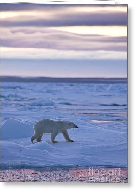 Polar Bear In Svalbard Greeting Card by Jean-Louis Klein & Marie-Luce Hubert