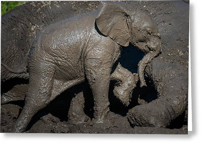 African Elephant Loxodonta Africana Greeting Card by Panoramic Images