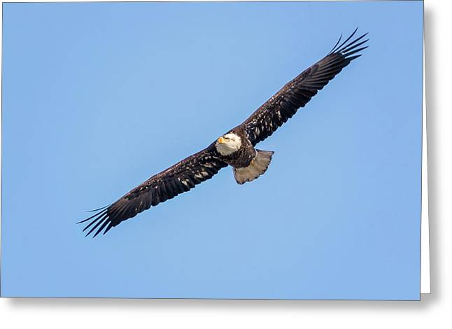 Greeting Card featuring the photograph Bald Eagle by Peter Lakomy