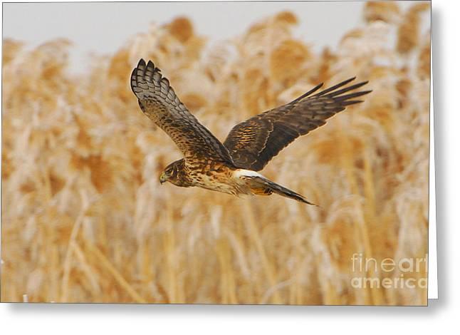 Harrier Hawk Greeting Card by Dennis Hammer