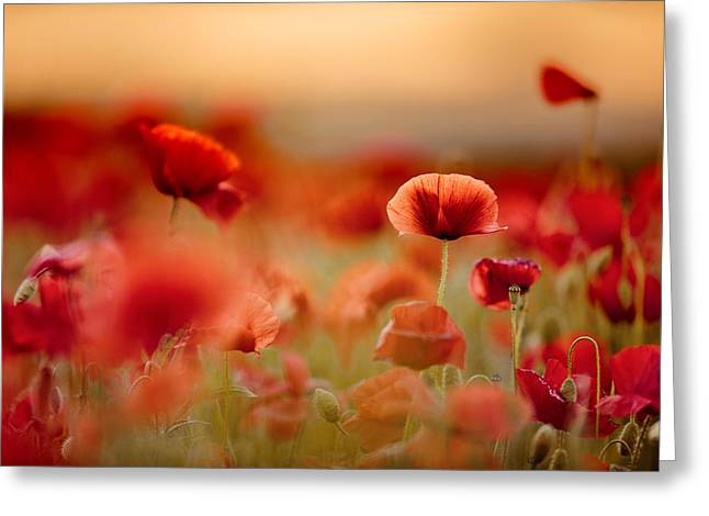 Poppy Dream Greeting Card