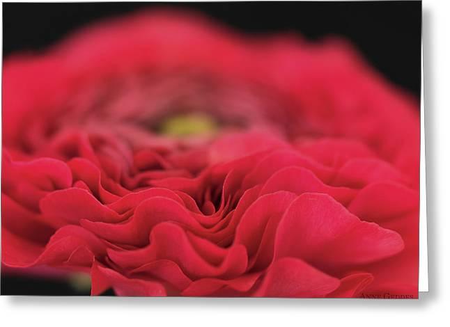 Ranunculus In Bloom Greeting Card by Anne Geddes