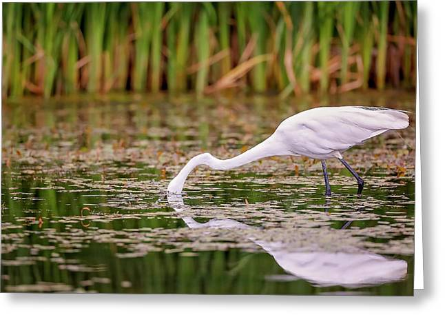 White, Great Egret Greeting Card