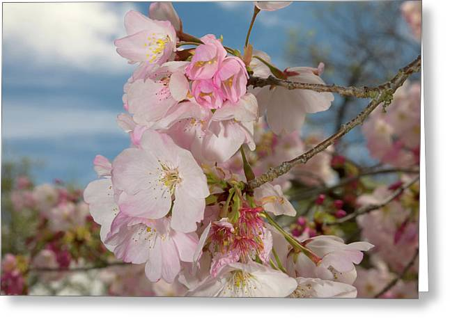 Silicon Valley Cherry Blossoms Greeting Card
