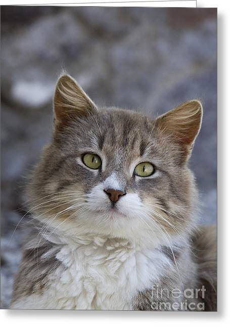 Cat On A Greek Island Greeting Card by Jean-Louis Klein & Marie-Luce Hubert