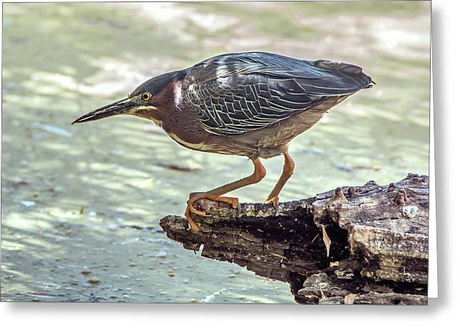 Green Heron Greeting Card by Tam Ryan