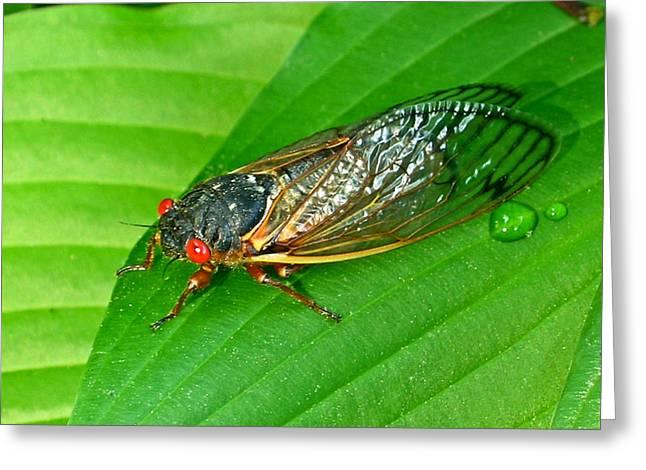 Cicada Greeting Cards - 17 Year Periodical Cicada Greeting Card by Douglas Barnett