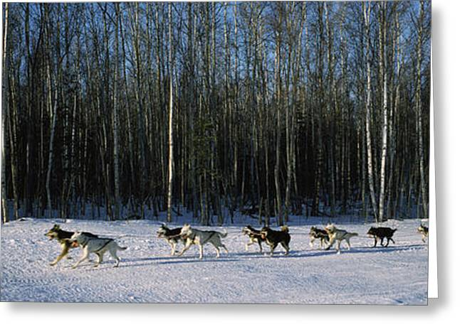 18 Huskies Begin The Long Haul Of 1049 Greeting Card by Panoramic Images
