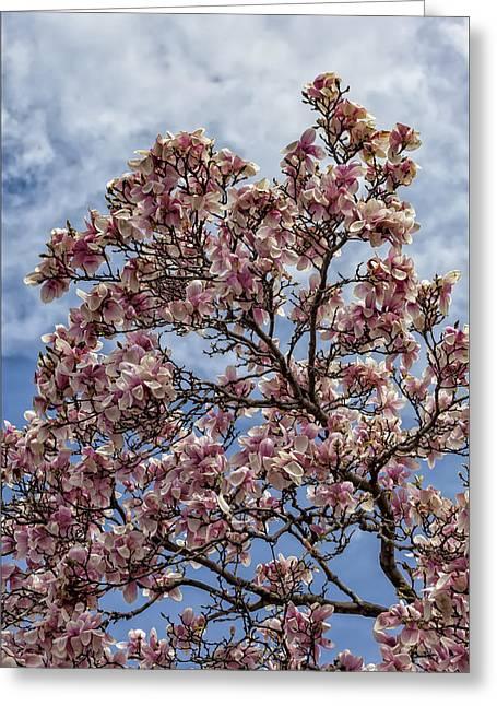 Magnolia Trees Photograph By Robert Ullmann