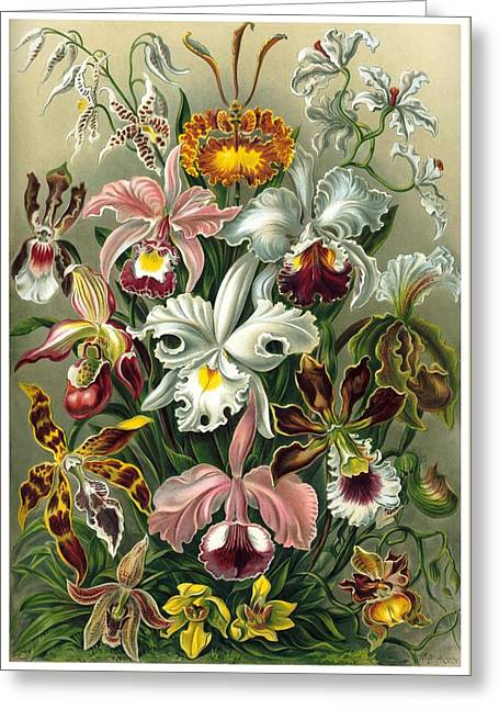 1904 Orchids Art Forms Of Nature Print Greeting Card