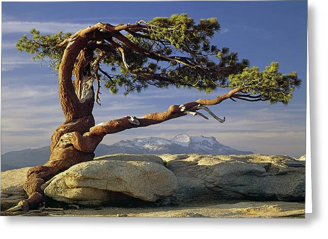 1m6701 Historic Jeffrey Pine Sentinel Dome Yosemite Greeting Card