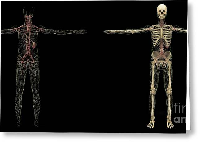 3d Rendering Of Human Lymphatic System Greeting Card by Stocktrek Images