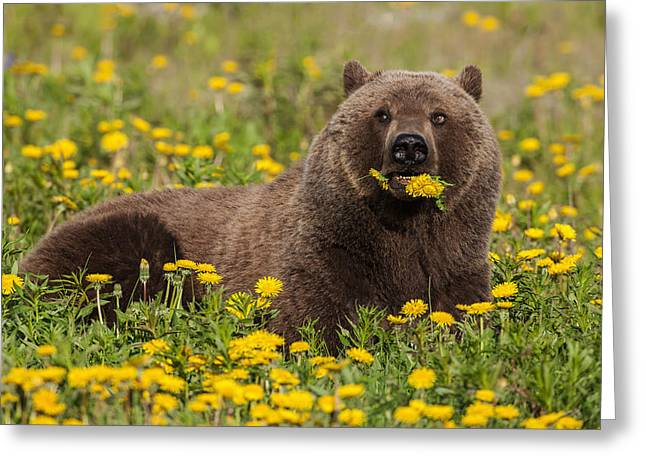 A Brown Bear Forages On Dandelions Greeting Card by John Hyde