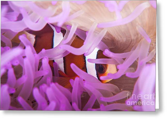 A Clarks Anemonefish Snuggles Amongst Greeting Card