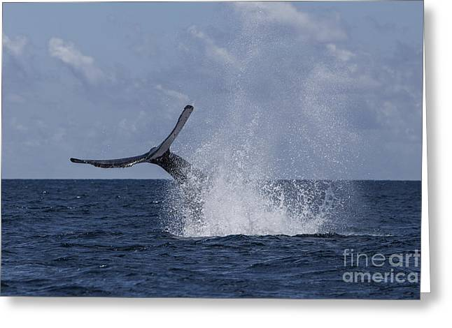 A Humpback Whale Slaps Its Tail Greeting Card